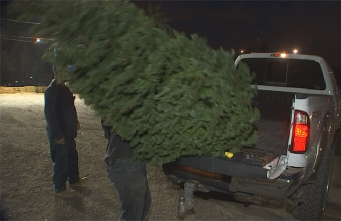 Getting your Christmas tree home safely
